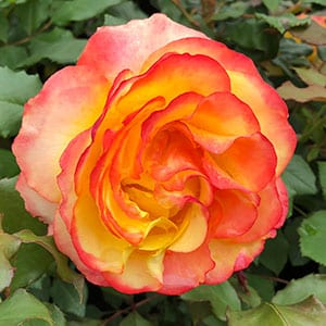 Tequila Sunrise Rose Bush