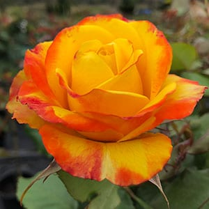 Tequila Sunrise Rose