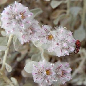 Ptilotus obovatus - Silvertails - Flinders Ranges