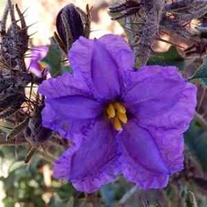 Solanum - Flinders Ranges