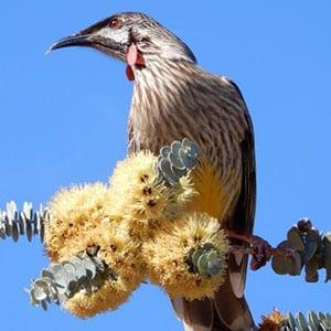 Wattle bird - Flinders Ranges