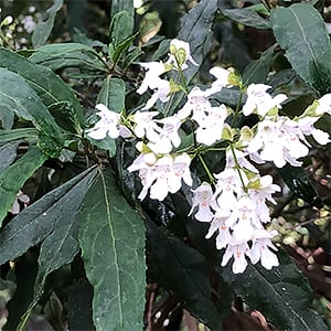 Prostanthera lasianthos - Victorian Christmas Bush