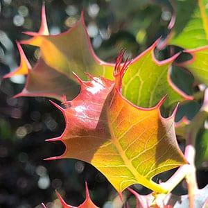 Grevillea insignis - Foliage