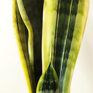Sansevieria trifasciata - Snake Plant - Mother in Law's Tongue