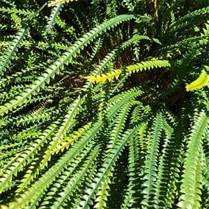 Banksia Nivea
