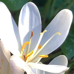 Colchicum autumnale alba