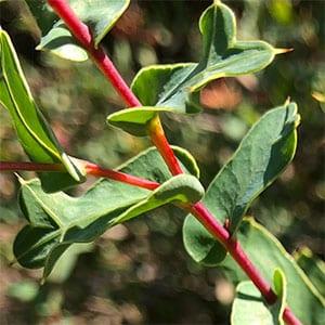 Grevillea maccutcheonii - Foliage detail