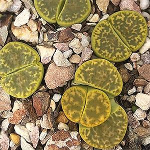 Lithops bromfieldii var. sulphurea