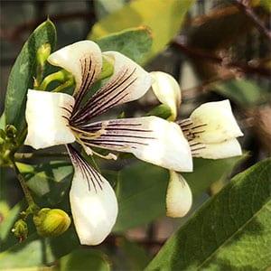 Marianthus bicolor - 'Painted Marianthus'