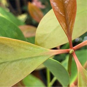 Star Anise Plant -  Illicium verum