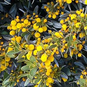 Acacia argyrophylla - Silver Mulga Flower Detail