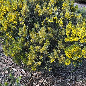 Acacia argyrophylla - Silver Mulga