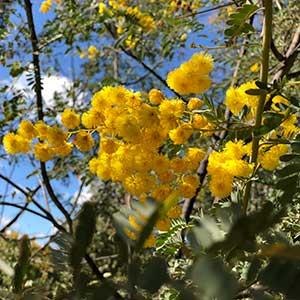 Acacia spectabilis - Mudgee Wattle