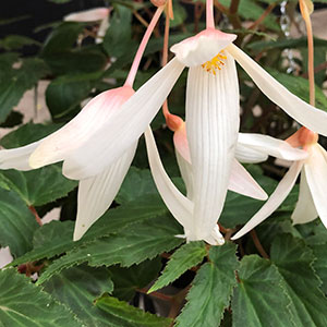 Begonia boliviensis  - White Flowing Form