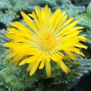 Faucaria Flower