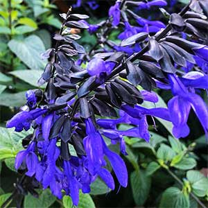 Salvia Black & Bloom'