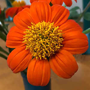 Tithonia rotundifolia - Mexican sunflower