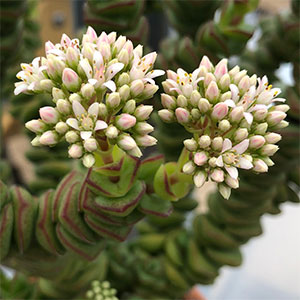 Crassula Jade Necklace - Flower