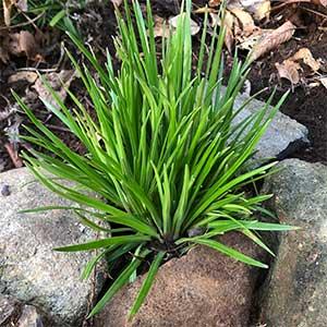 Stylidium graminifolium - Grass Trigger Plant