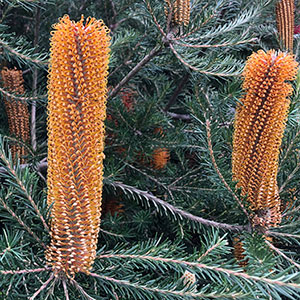 Banksia Yellow Wing