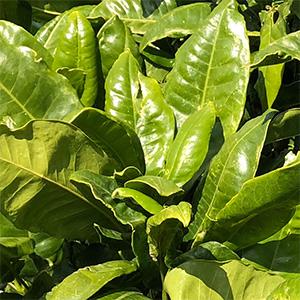 Lemon Aspen (Acronychia acidula) Foliage