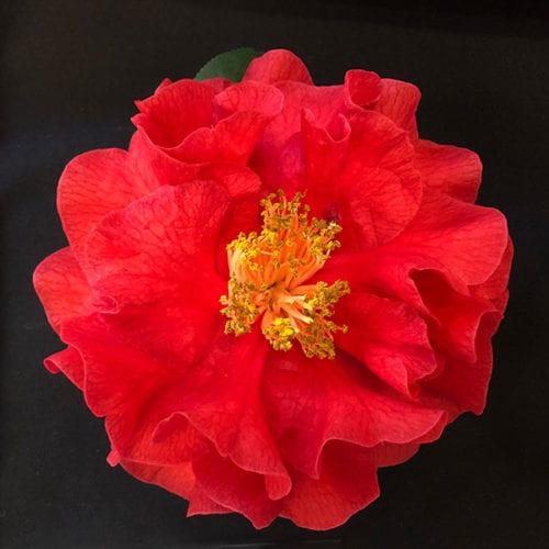 Camellia Dr. Clifford Parks