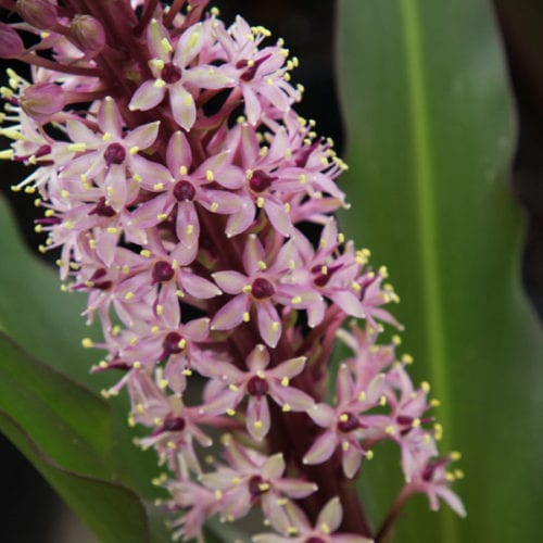 Eucomis comosa - Sparkling Burgundy Pineapple Lily