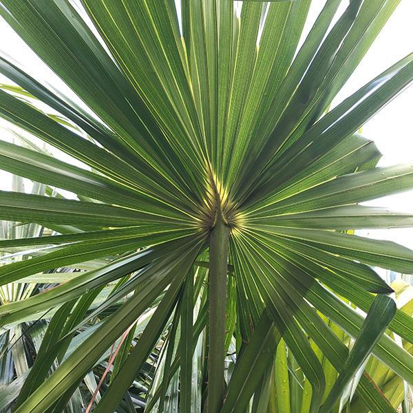 Livstona australis - Cabbage Palm