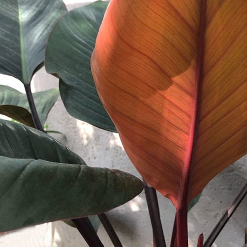Philodendron Rojo Congo