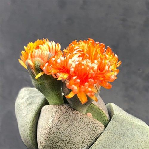 Pleiospilos nelii - Flower