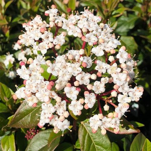 Viburnum tinus - Laurustinus