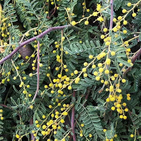Acacia cardiophylla 'Gold Lace' - Flower and Foliage Detail