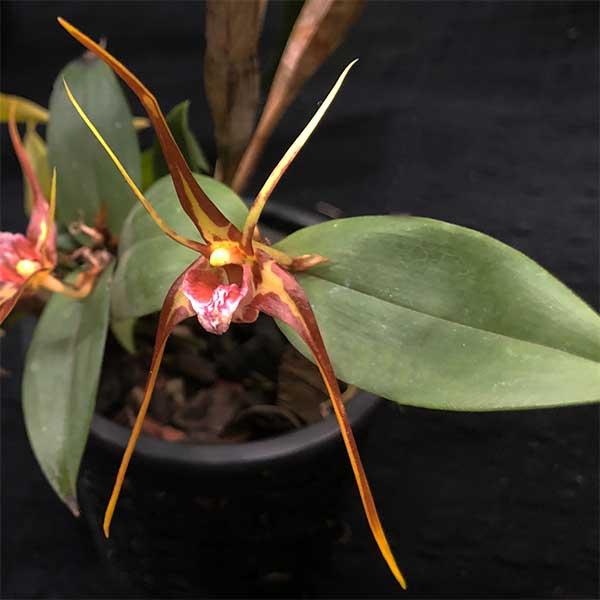 Dendrobium tetragonum - Tree Spider Orchid