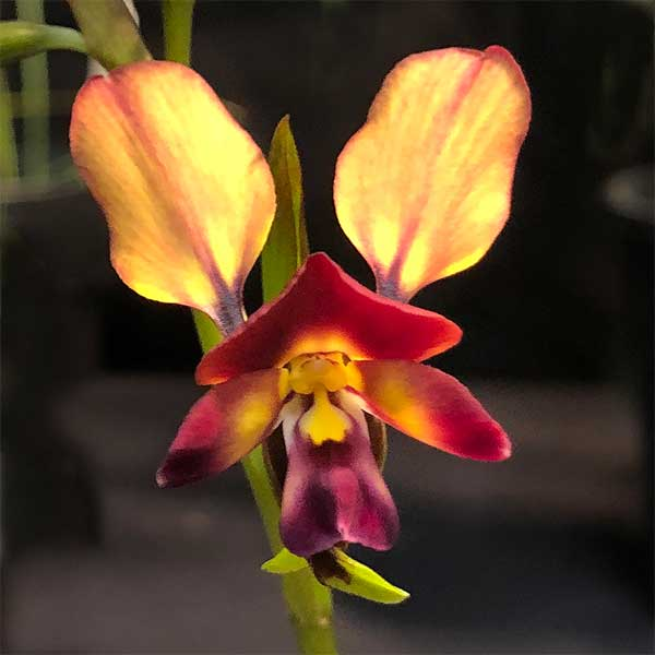 Diuris amplissima - Giant Donkey Orchid