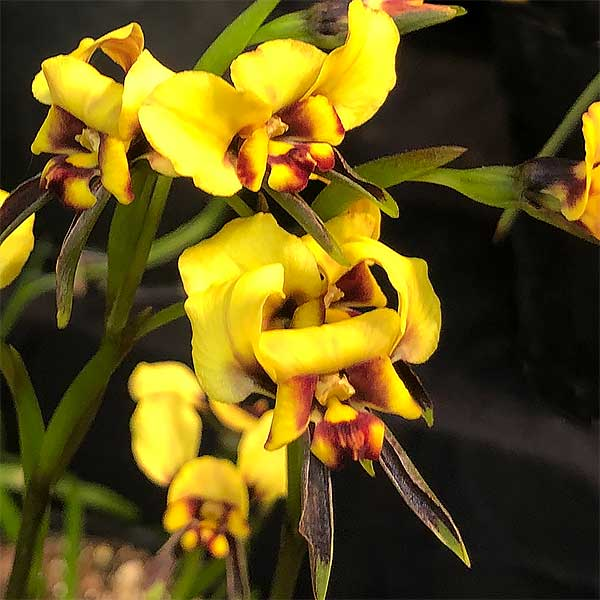 Spectacled Donkey Orchid - Diuris conspicillata