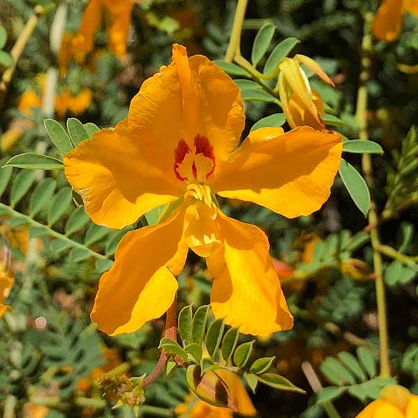 Petalostylis cassioides - Butterfly Bush