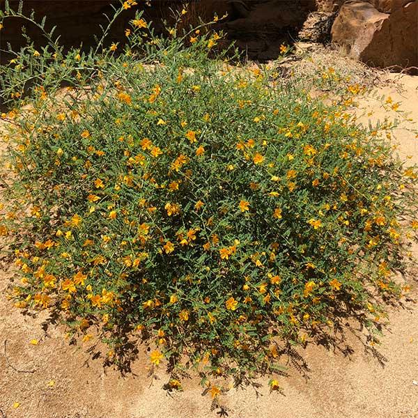 Petalostylis cassioide - Ormiston Gorge