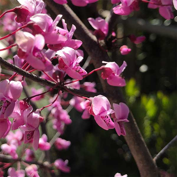 Cercis canadensis - Flowers