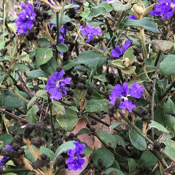 Dampieria purpurea
