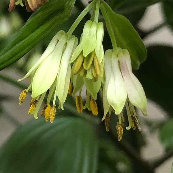 Disporum cantoniense - Flower