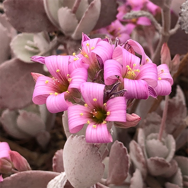 Kalanchoe pumila - Growing In Sun