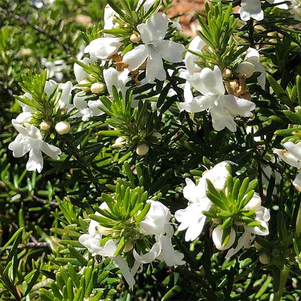 Westringia 'White Rambler'