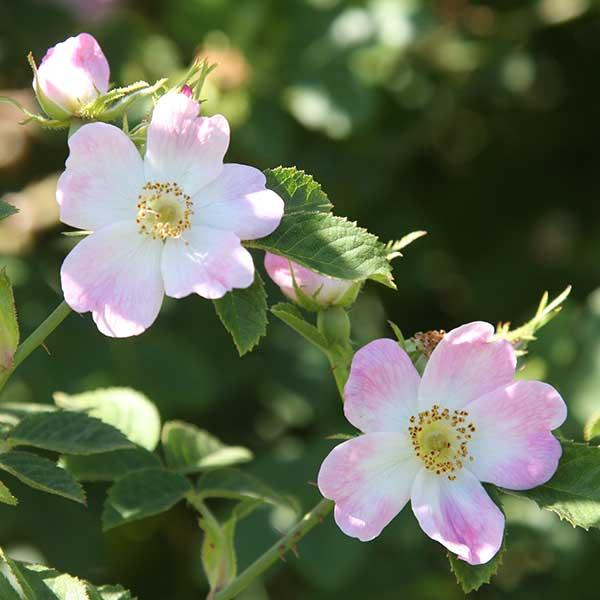 Rosa canina - A Wild Rose