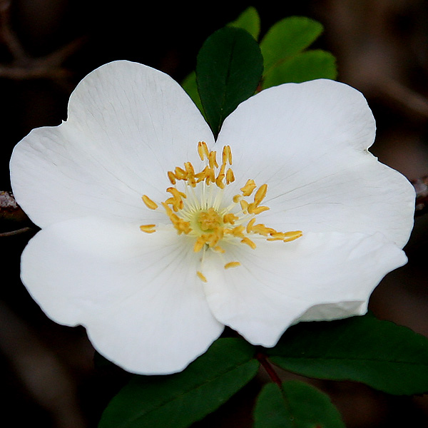 Rosa sericea subsp. omeiensis f. pteracantha - Flower