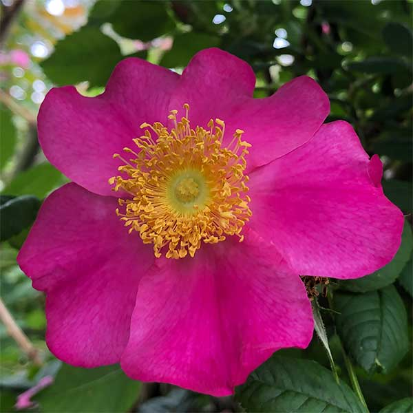 Wild Roses or Species Roses
