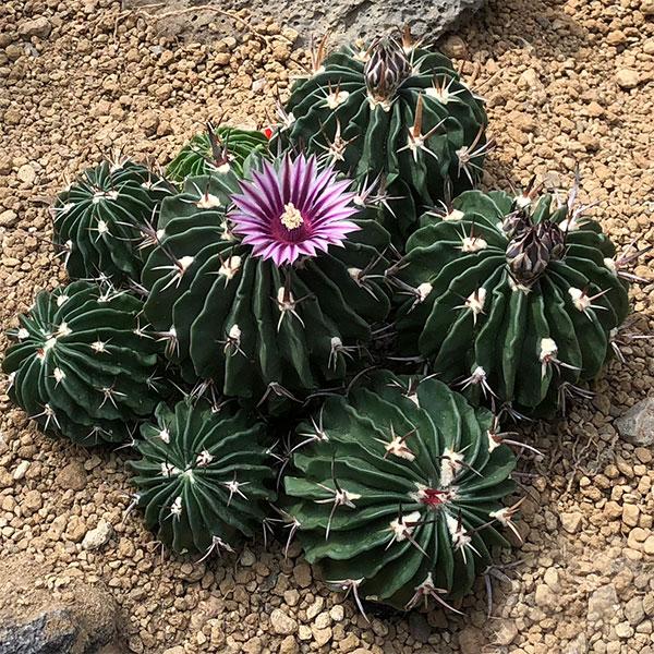 Cactus Plant in Flower