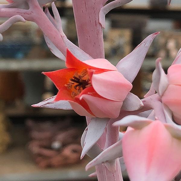 Echeveria cante - Flower