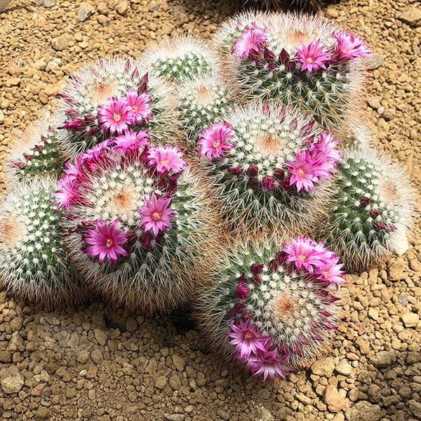 Mammillaria spinosissima - Spiny Pincushion Cactus