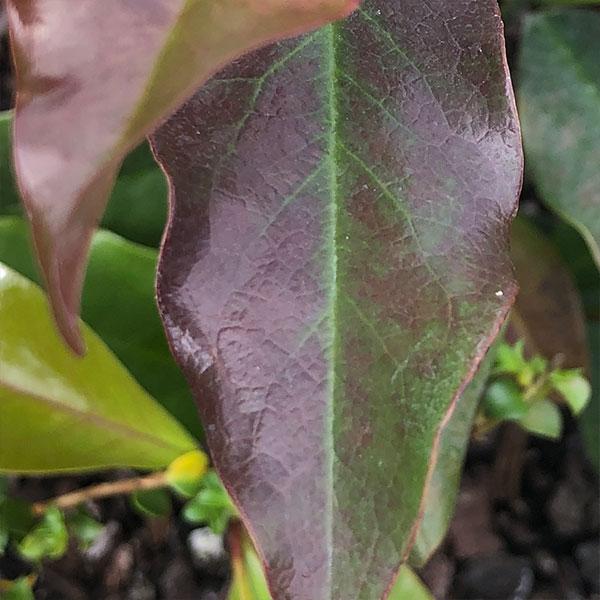 Eupomatia laurina - Bolwarra or Native Guava