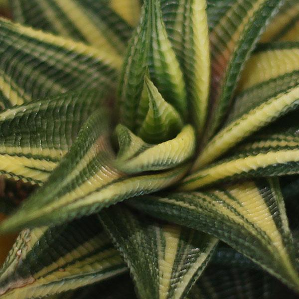 Haworthia limifolia -variegated